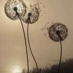 photo3 fleurs de pissenlit pour exemple de tattoo